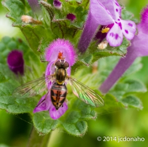 Bee fly on flower
