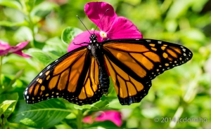 This newly metamorphosed Monarch butterfly is in the process of drying and expanding the wings to take the first flight.